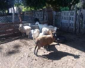 Carneros, capones y corderos, listo para faena