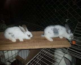 Conejos Gigante De Flandes