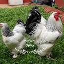 Huevos fértiles de gallinas de raza - 1