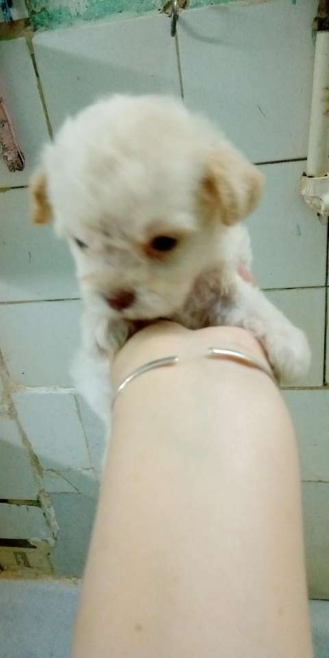 Caniche toy blanco - 4