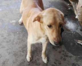 Cachorros labrador color dorado