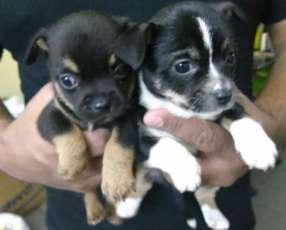 Cachorros Chihuahua miniatura de 2 meses.