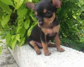 Cachorro pinscher tamaño 0