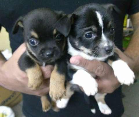 Cachorros Chihuahua miniatura de 2 meses - 0