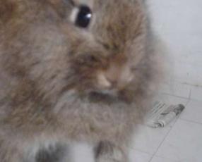 Conejo macho mestizo