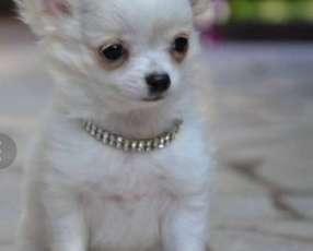 Cachorro Chihuahua Macho y Hembra