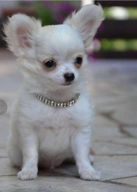 Cachorro Chihuahua Macho y Hembra - 0