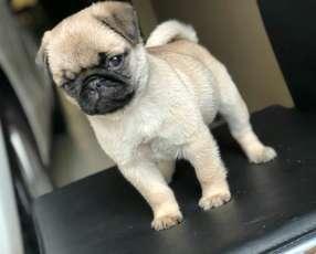 Cachorro Pug Hembra