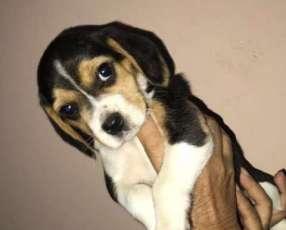 Cachorro beagles