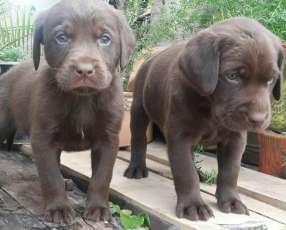 Cachorros labrador retriever machos