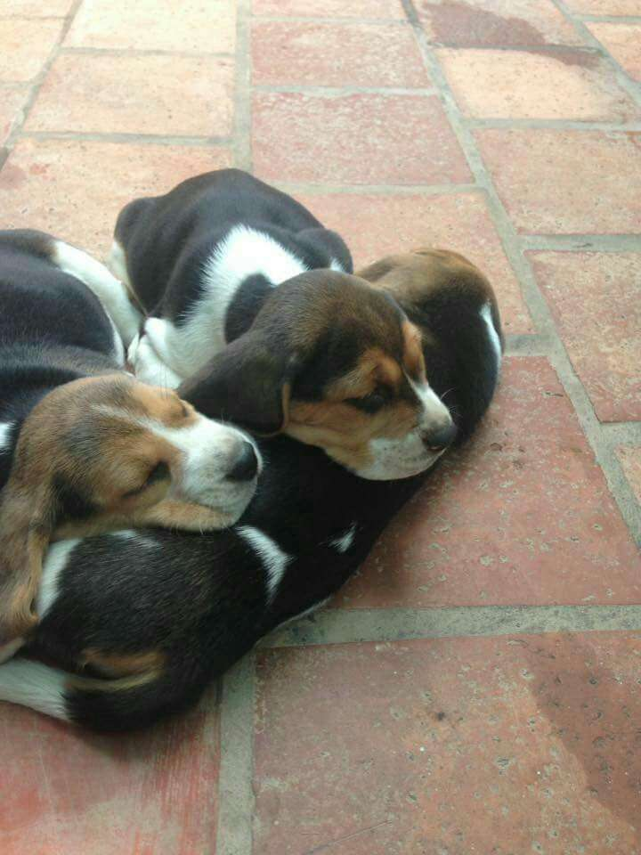 Cachorros beagle importados - 0
