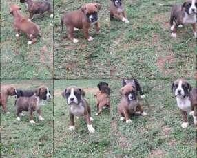 Cachorros boxer macho y hembra