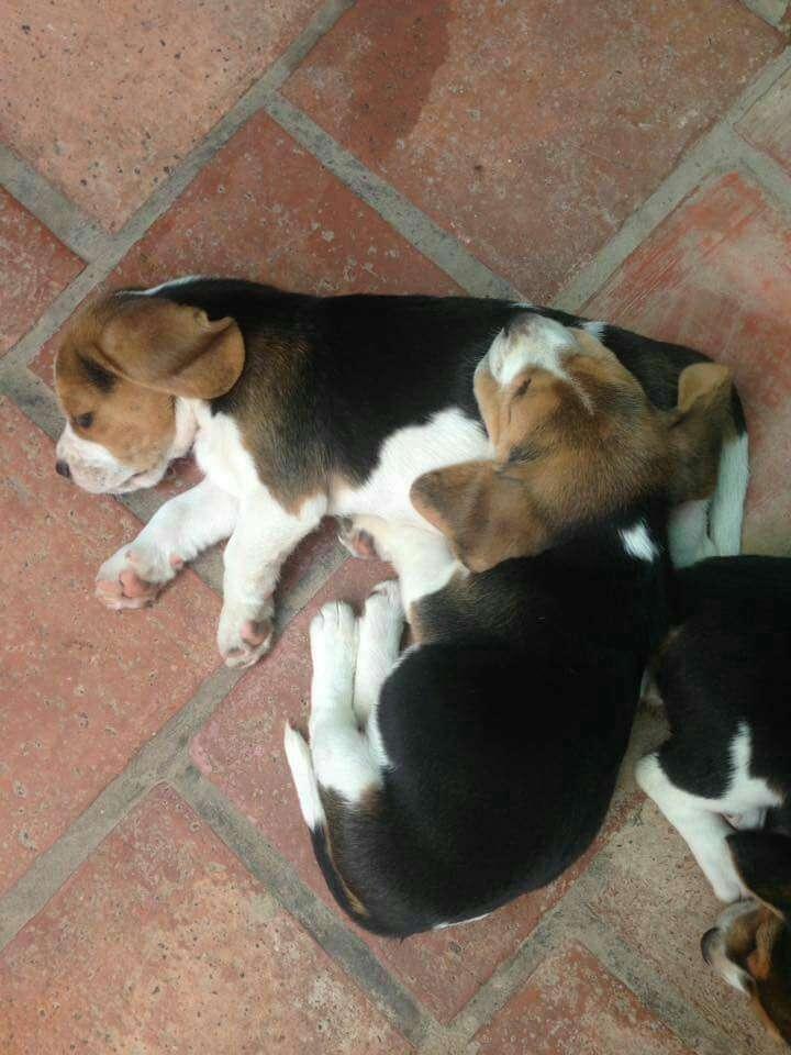 Cachorros beagle importados - 2