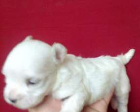 Cachorro Maltes miniatura hijos de registrados importados