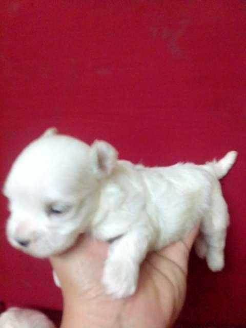 Cachorro Maltes miniatura hijos de registrados importados - 0