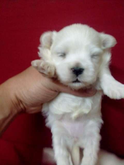 Cachorro Maltes miniatura hijos de registrados importados - 1