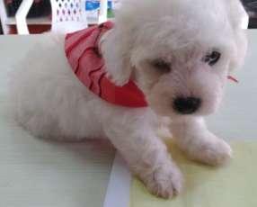 Cachorro Caniche toy vacunados y desparasitados con cartilla.