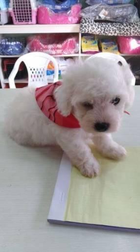 Cachorros Caniche Toy