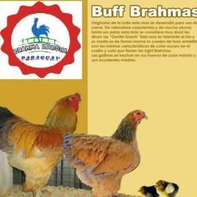 Pollitos de raza Brahma