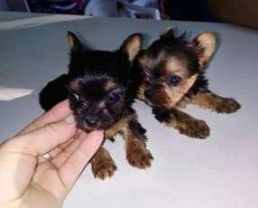 Cachorros de Yorkhire miniatura tamaño cero