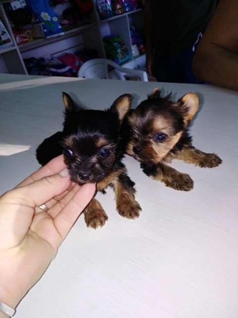 Cachorros de Yorkhire miniatura tamaño cero - 0