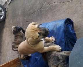 Cachorros fila
