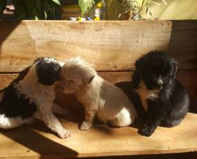 Cachorritos mestizos