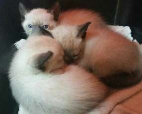 Gatitos siames