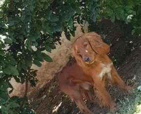 Cachorros Cocker Spaniell