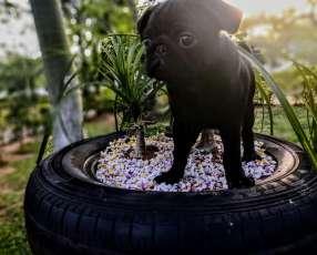 Cachorro pug carlino macho