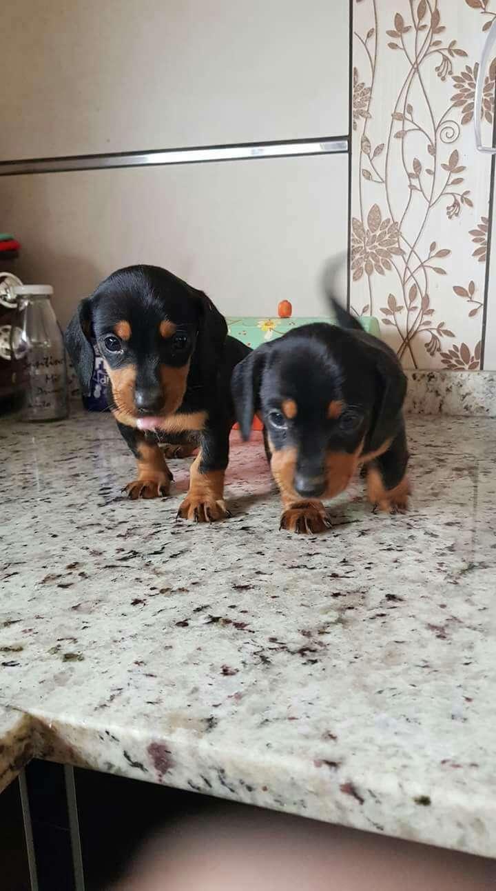 Cachorros salchichas mini negros macho y hembra - 1