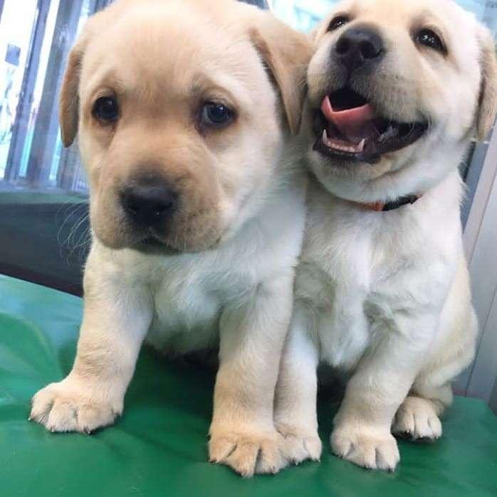 Cachorros labradores - 1
