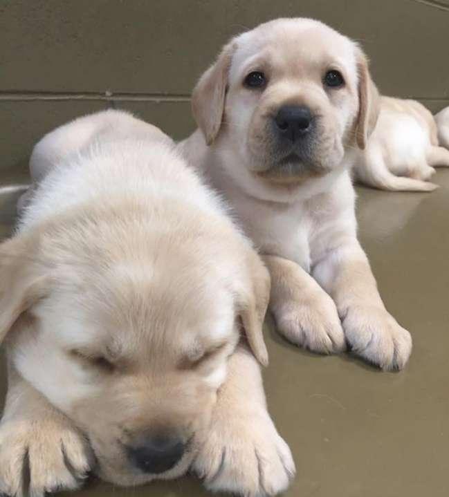 Cachorros labradores - 0