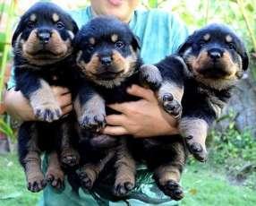 Cachorritos rottweiler alemán