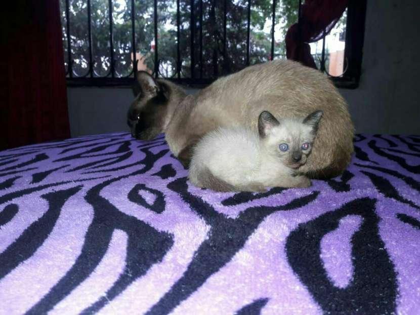Gato siames - 0