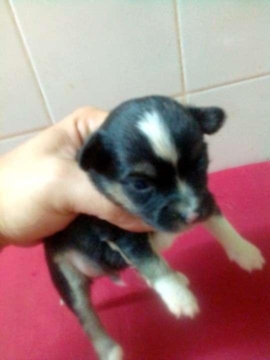 Chihuahuas miniatura de bolsillo - 2