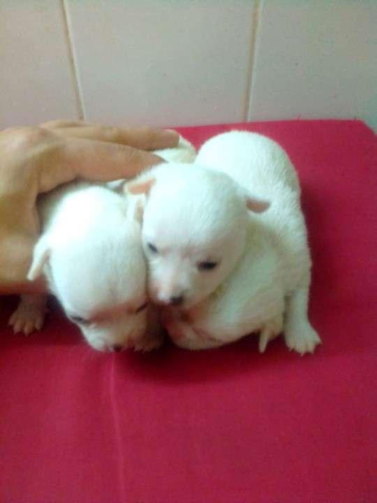 Chihuahuas miniatura de bolsillo - 3