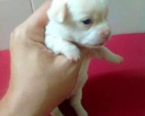 Chihuahuas miniatura de bolsillo