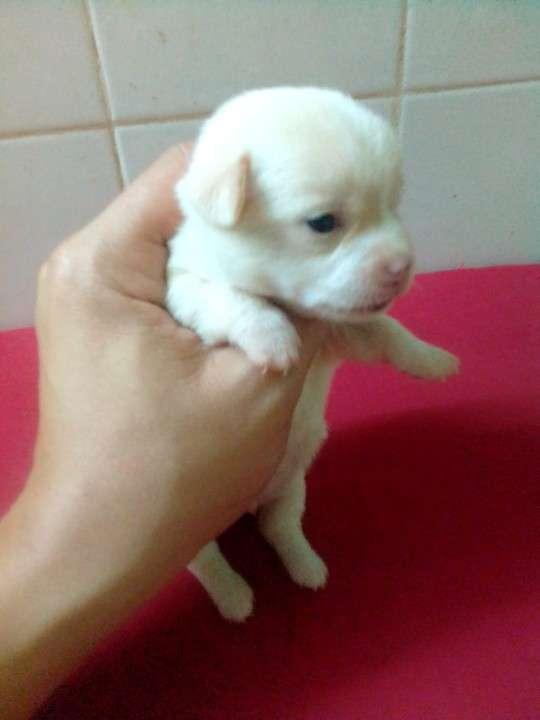 Chihuahuas miniatura de bolsillo - 0