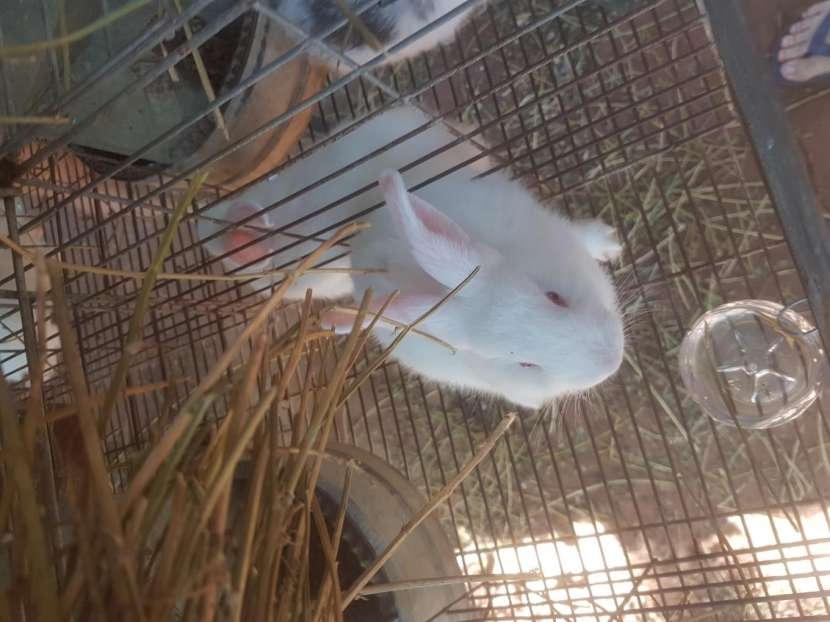 Conejos cruza de neozelandes