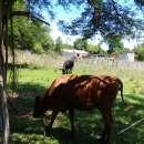 Vaca preñada y vaquilla raza jersey sin cuernos - 0
