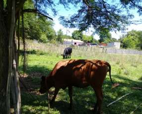 Vaca preñada y vaquilla raza jersey sin cuernos