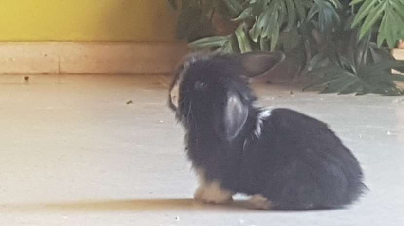Conejos de razas pequeñas - 4