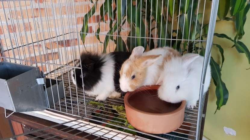 Conejos de razas pequeñas - 0