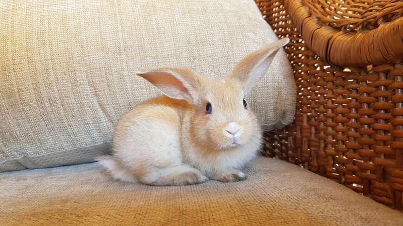 Conejos de razas pequeñas - 1