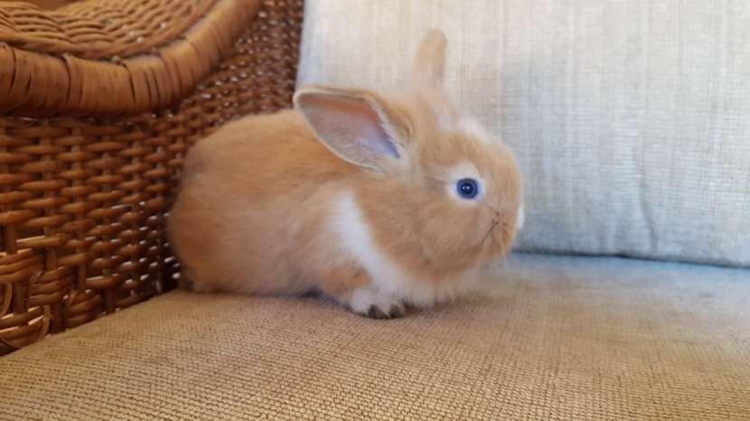 Conejos de razas pequeñas - 3