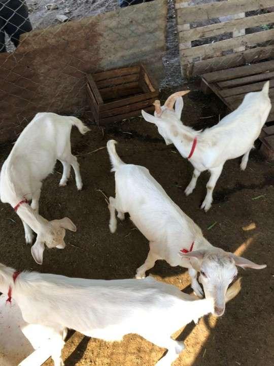 Cabras Raza Saanen - 2