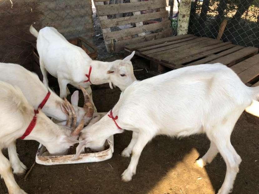 Cabras Raza Saanen