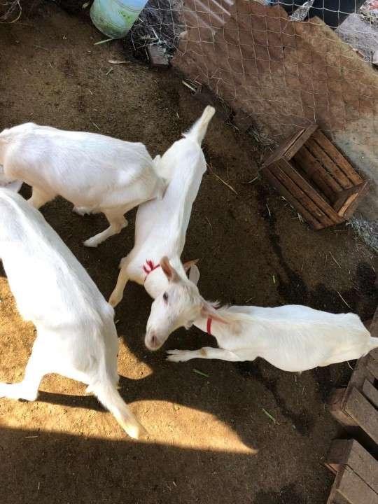 Cabras Raza Saanen - 3