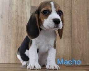 Beagle con pedigree y microchips